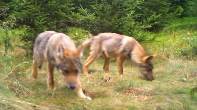 V dubnu zasedne krajská komise, aby hledala způsob, jak předcházet škodám způsobeným vlky